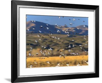 Snow Geese Flock, New Mexico, Usa-Tim Fitzharris-Framed Photographic Print