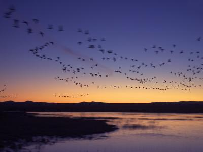 Snow Geese Flying Along the Rio Grande at Sunrise-Ralph Lee Hopkins-Photographic Print