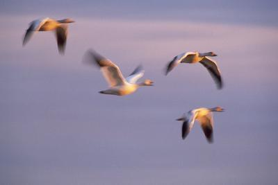 Snow Geese Flying at Sunset-DLILLC-Photographic Print