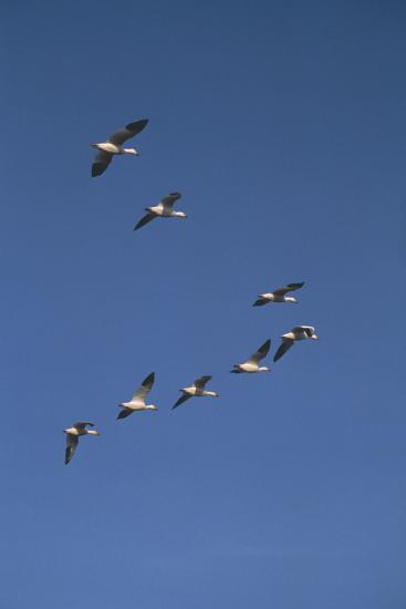 Snow Geese Flying in Formation-DLILLC-Photographic Print