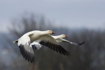 https://imgc.artprintimages.com/img/print/snow-geese-flying_u-l-q1dk7wi0.jpg?p=0
