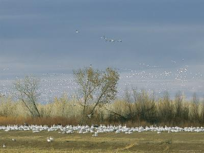 Snow Geese in Flight and Resting on the Ground-Marc Moritsch-Photographic Print