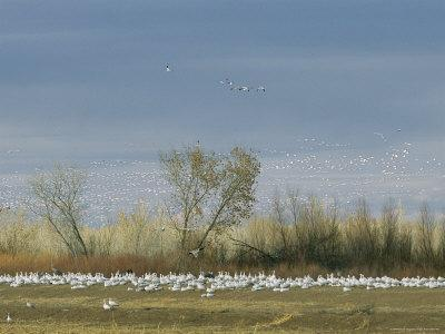 https://imgc.artprintimages.com/img/print/snow-geese-in-flight-and-resting-on-the-ground_u-l-p4nf580.jpg?p=0