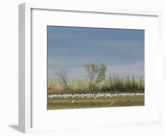 Snow Geese in Flight and Resting on the Ground-Marc Moritsch-Framed Photographic Print