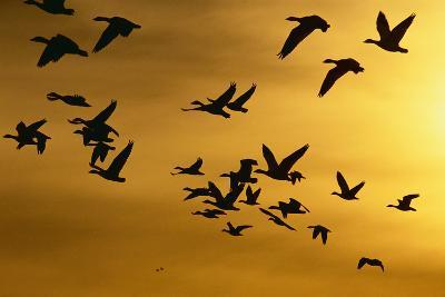 Snow Geese in Flight at Sunset-DLILLC-Photographic Print