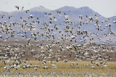 Snow Geese in Flight-DLILLC-Photographic Print