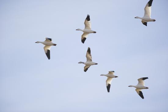 Snow Geese in Flight-DLILLC-Photographic Print