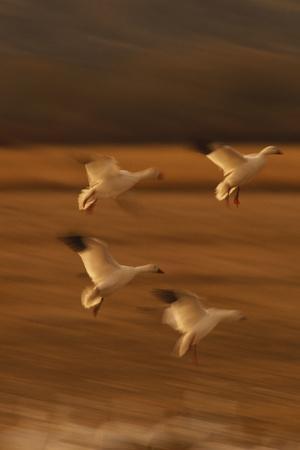 Snow Geese Landing-DLILLC-Photographic Print