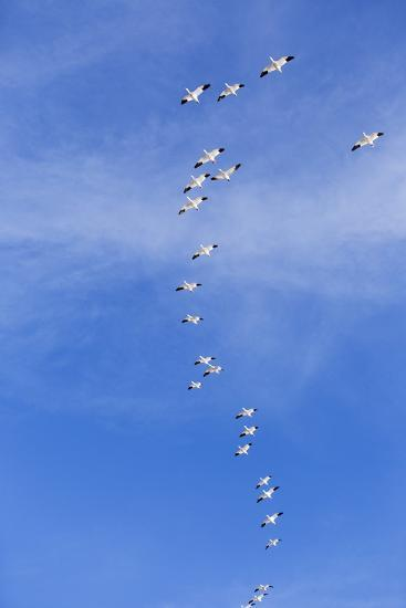 Snow Geese, New Mexico-Paul Souders-Photographic Print