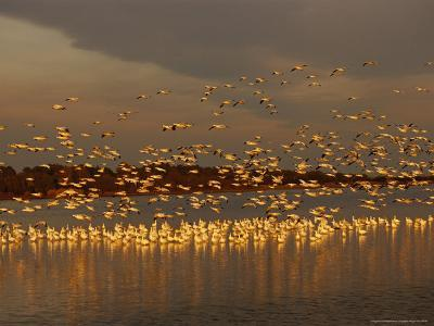 Snow Geese on Swans Cove Pool at Sunset-Raymond Gehman-Photographic Print