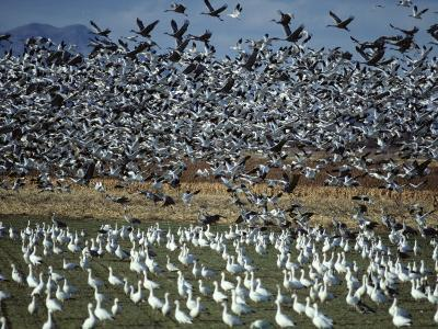 Snow Geese Taking Off from Field, New Mexico, Usa-Jeff Foott-Photographic Print
