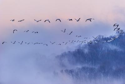 Snow Geese-Austin Li-Photographic Print