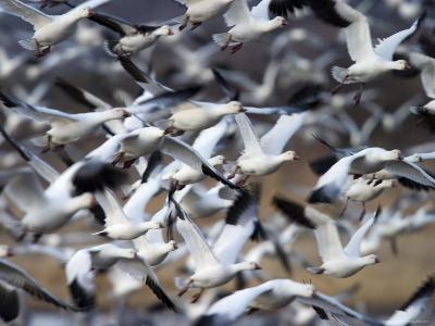 Snow Goose, Anser Caerulescens, Bosque Del Apache, Soccoro, New Mexico, USA-Thorsten Milse-Photographic Print
