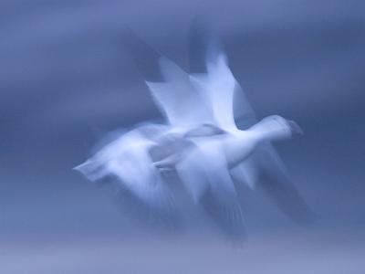 Snow Goose, (Anser Caerulescens), Bosque Del Apache, Soccoro, New Mexico, USA-Thorsten Milse-Photographic Print
