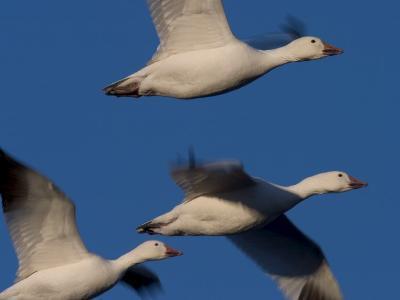 Snow Goose (Anser Caerulescens), Bosque Del Apache, Socorro, New Mexico, USA-Thorsten Milse-Photographic Print