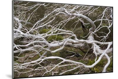 Snow Gum a Windswept and by Fire Damaged Snow--Mounted Photographic Print