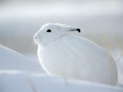 Snow Hare (Lepus Americanus), Churchill, Manitoba, Canada-Thorsten Milse-Photographic Print