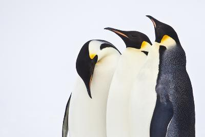 Snow Hill, Antarctica. Three Emperor Penguins. High Key-Janet Muir-Photographic Print