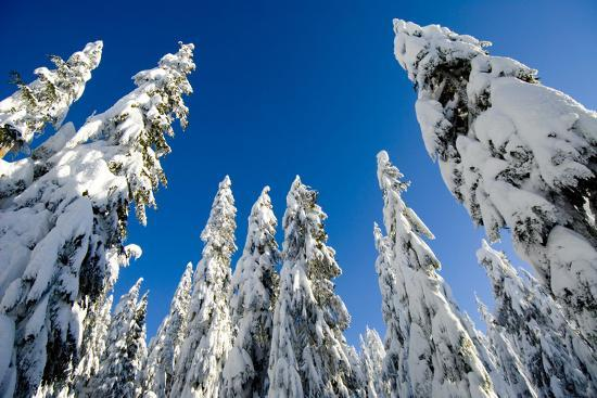 Snow-Laden Trees on Seymour Mountain-Paul Colangelo-Photographic Print
