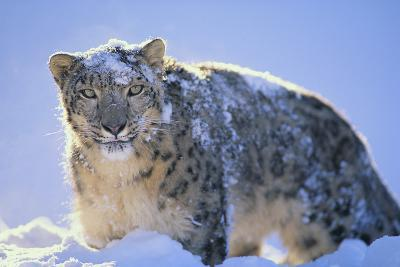 Snow Leopard Covered in Snow-DLILLC-Photographic Print