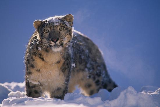 Snow Leopard in Snow-DLILLC-Photographic Print