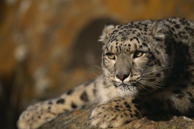 Snow Leopard on Rock-DLILLC-Photographic Print