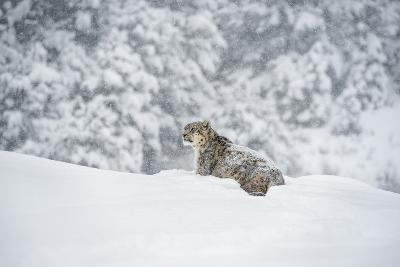 Snow Leopard (Panthera India), Montana, United States of America, North America-Janette Hil-Photographic Print