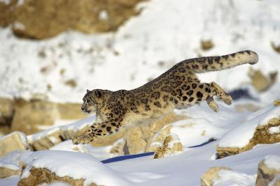 Snow Leopard Running Through Snow with Rocks Behind--Photographic Print