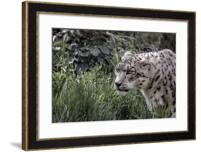 Snow Leopard Staring and Waiting in the Central Park Zoo in NYC--Framed Photo
