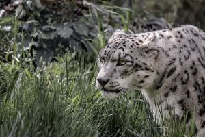 Snow Leopard Staring and Waiting in the Central Park Zoo in NYC