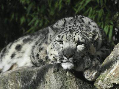 Snow Leopard Takes Time Out to Rest its Huge Head on a Rock Ledge-Jason Edwards-Photographic Print