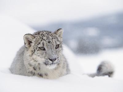 Snow Leopard (Uncia Uncia) Adult Portrait in Snow, Endangered-Tim Fitzharris/Minden Pictures-Photographic Print