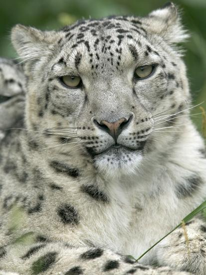 Snow Leopard (Uncia Uncia), Endangered Native to Asia and Russia-Cyril Ruoso-Photographic Print