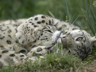 Snow Leopard (Uncia Uncia) Pair Playing Together, Endangered, Native to Asia and Russia-Cyril Ruoso-Photographic Print