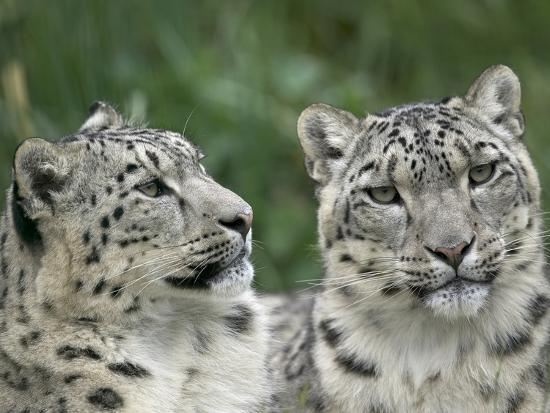 Snow Leopard (Uncia Uncia) Pair Resting Together, Endangered, Native to Asia and Russia-Cyril Ruoso-Photographic Print