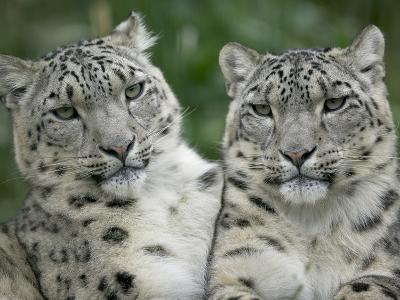Snow Leopard (Uncia Uncia) Pair Sitting Together, Endangered, Native to Asia and Russia-Cyril Ruoso-Photographic Print