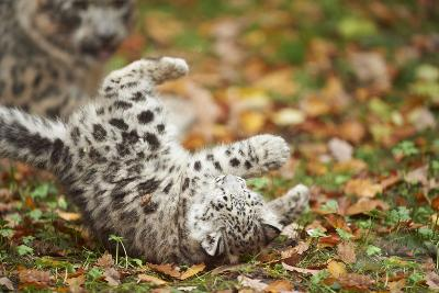 Snow Leopard, Uncia Uncia, Young Animal, Falling, Foliage-David & Micha Sheldon-Photographic Print