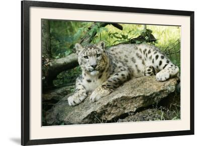 Snow Leopard--Framed Photographic Print