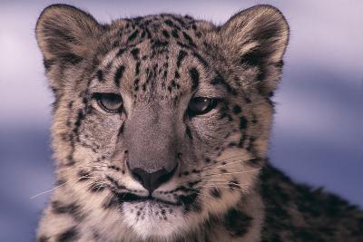 Snow Leopard-DLILLC-Photographic Print