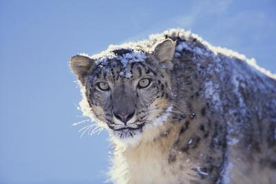https://imgc.artprintimages.com/img/print/snow-leopard_u-l-pzrap30.jpg?p=0