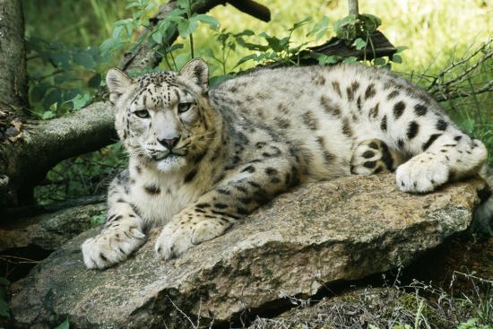 Snow Leopard--Photographic Print