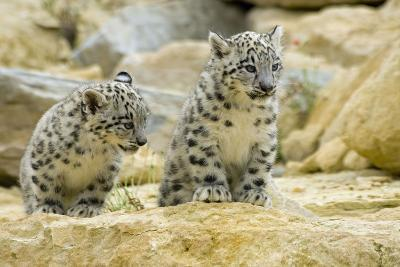 Snow Leopards Cubs--Photographic Print