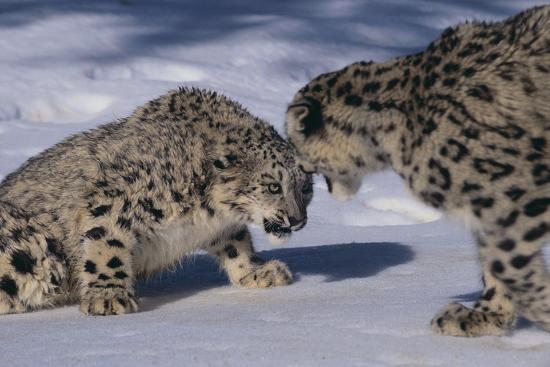 Snow Leopards Facing Off-DLILLC-Photographic Print