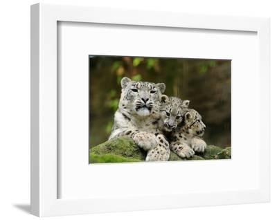 Snow Leopards, Uncia Uncia, Mother with Young Animals-David & Micha Sheldon-Framed Photographic Print