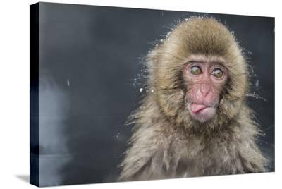 Snow Money, Tongue Out-Takeshi Marumoto-Stretched Canvas Print