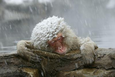 Snow Monkey in Snow Storm--Photographic Print