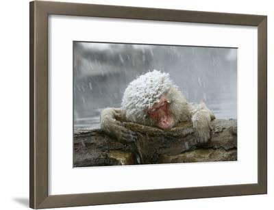 Snow Monkey in Snow Storm
