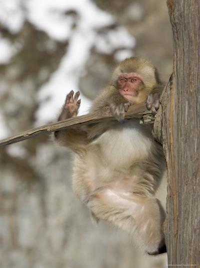 Snow Monkey (Macaca Fuscata) Hangs Precariously from a Tree Branch-Roy Toft-Photographic Print
