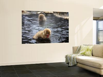 Snow Monkeys (Japanese Macaque) in Jigokudani Yaen-Koen Hot Spring-Frank Carter-Giant Art Print