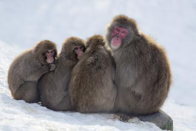 Snow Monkeys (Macaca Fuscata) Huddling Together for Warmth, Kingussie-Ann & Steve Toon-Photographic Print